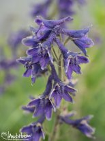 Larkspur (Delphinium brachycentrum), Denali Highway, Tangle Lakes, Alaska