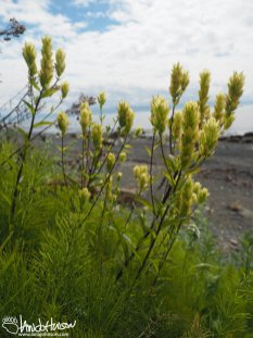 Yellow Paintbrush/ Coastal Paintbrush (Castilleja unalaschensis), Homer Alaska