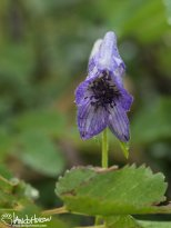 Monkshood (Aconitum), Denali National Park, Alaska