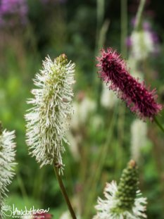 Sitka Burnet (Sanguisorba stipulata) and Red Burnet (Sanguisorba officinalis), Denali National Park, Alaska