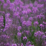 Fireweed (Chamerion angustifolium), Creamers Field, Fairbanks, Alaska