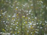 Narrow-leaf Hawksbeard (Crepis tectorum), Seed, Creamers Field, Fairbanks, Alaska