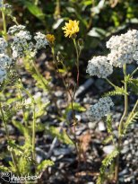 Northern Yarrow ( ) and Narrow-leaf Hawksbeard (Crepis tectorum), Richardson Highway, Alaska