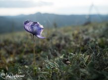 Monkshood (Aconitum), Eagle Summit, Alaska, August