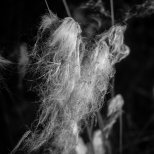 Cottongrass (Eriophorum), Fairbanks, Alaska, August