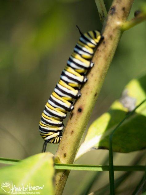 Monarch Catipillar (Danaus plexippus)