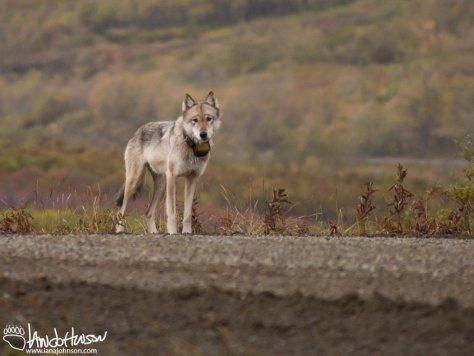Wolf GPS Collar