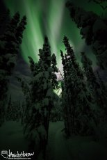 Aurora Over a Spruce Cathedral