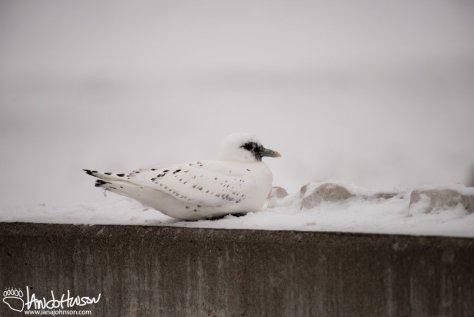 Ivory Gull, Duluth, Minnesota