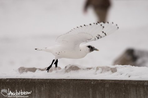 Ivory Gull, Underwings