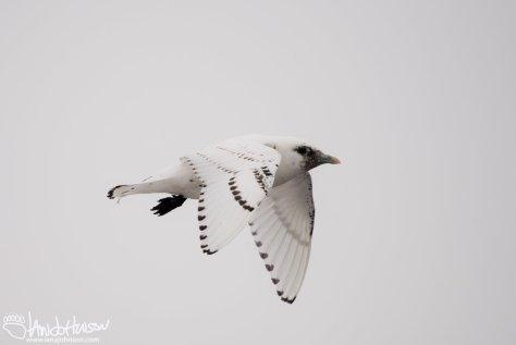 Ivory Gull, Identification