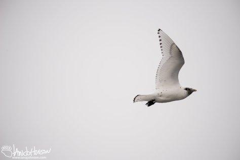 Ivory Gull, Flying, Duluth