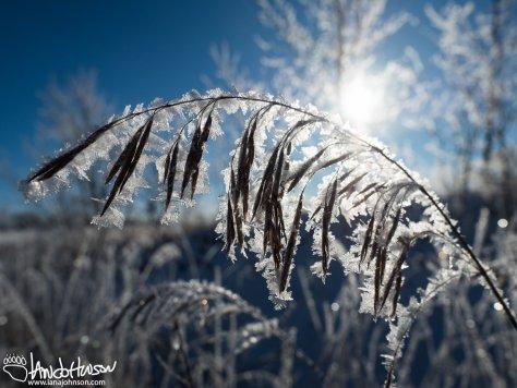 Hoar frost Grass Frond