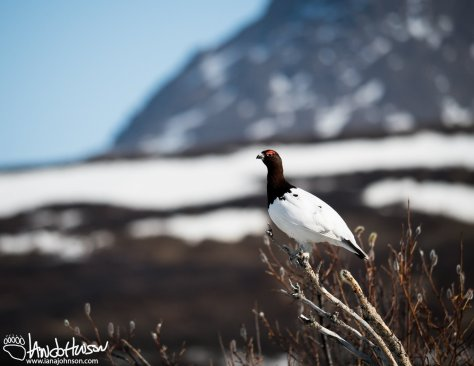 Willow Ptarmigan, Denali Highway, Alaska