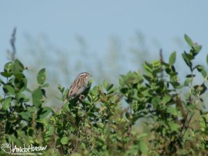 Clay-collared Sparrow