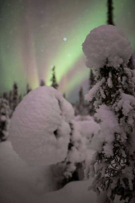 Aurora Borealis and black spruces