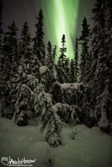 Spruce, Northern Lights, Black Spruce