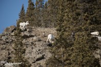 "Fuzzy ""kids"", you bighorn sheep, along Kluane Lake."