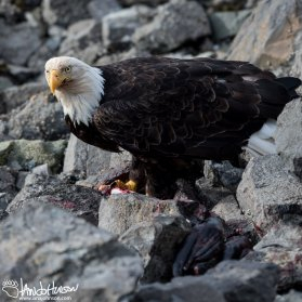 A mature bald eagle feeds on the remains of seal along the shoreline of Icy Strait Point