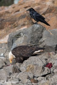 A Common Raven awaits a chance at a meal of seal.