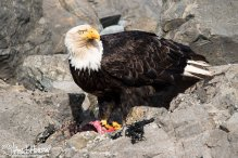A mature Bald Eagle takes a break from cleaning up a seal carcass at Icy Strait Point