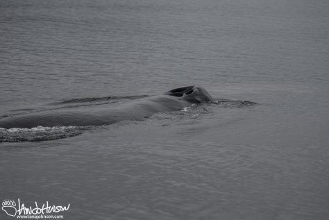 This humpback whale surfaced about 20 yards offshore from the deep. With my long telephoto lens on this was the only image I could muster!