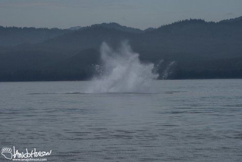 Humpback Whale Splash
