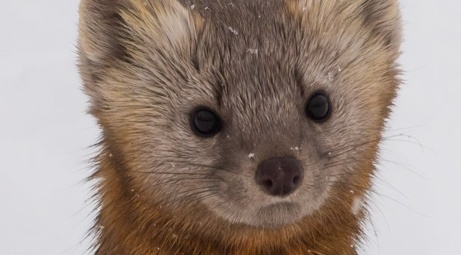 The Pine Marten Transplants of Chichagof Island