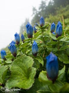 Broad-leaf Gentians at 3,000 feet above Hoonah