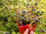 Alaska, Blueberries, Subsistence