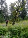 Black currants dangle from a heavily loaded bush.