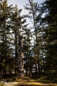 Each of the totems at the totem park are placed among the tall spruces.
