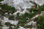 Nesting Black-legged Kittiwakes at South Marble Island