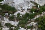 Nesting Black-legged Kittiwakes at South Marble Island