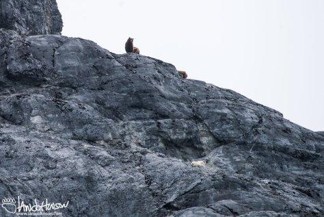 Gloom Knob, Coastal Brown Bear, Grizzly, Mountain Goat