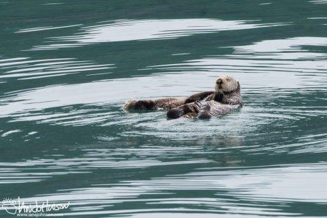 Sea Otter, Glacier Bay National Park