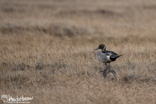 Northern Pintail, Utqiaġvik, Alaska