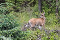 Sitka Blacktail, Hoonah, Alaska