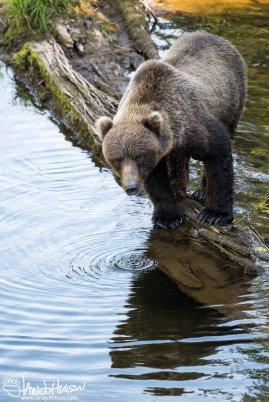 Coast Brown Bear, Hoonah, Alaska