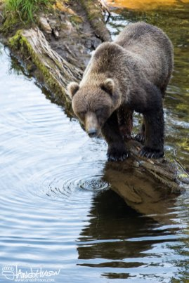 Coast Brown Bear, Hoonah, Alaska