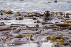 Sea Otter, Hoonah, Alaska