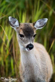 Sitka Blacktailed Deer, Hoonah, Alaska