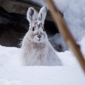 Snowshoe Hare, Fairbanks, Alaska