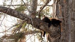 Black Bear, Hoonah, Alaska