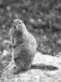 Arctic Ground Squirrel, North Slope, Alaska