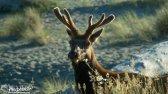 Roosevelt Elk, Redwoods, California