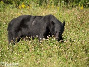 Black Bear, TransAm Highway, Canada