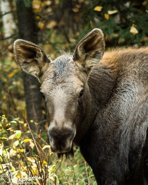 Moose, Fairbanks, Alaska