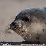 Harbor Seal, Prime Hook National Wildllife Refuge, Delaware