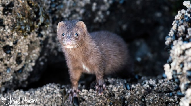 A Mink in the Mussels